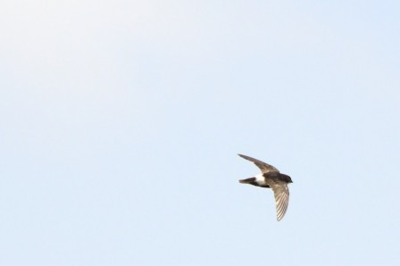 Martinet des maisons - Apus affinis - Little Swift