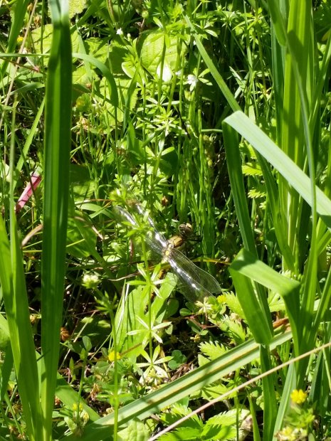 Orthétrum réticulé - Orthetrum cancellatum - Black-tailed skimmer