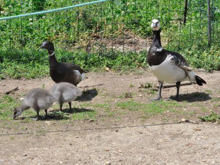Sauvage les oies le blog des oiseaux for Parc sauvage 78