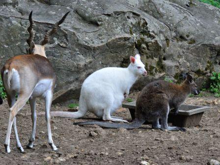 Sauvage le wallaby de bennett le blog des oiseaux for Parc sauvage 78